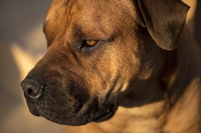 most dangerous dog breeds in the world