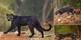 Rare BLACK leopard is spotted crossing the road