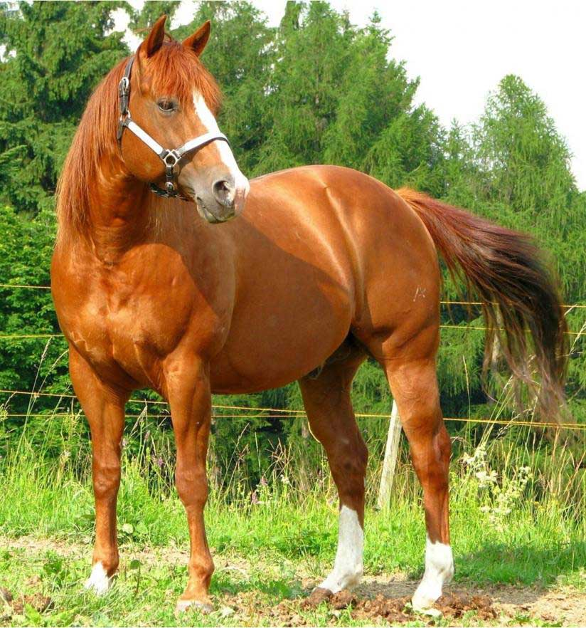 most expensive horse breed