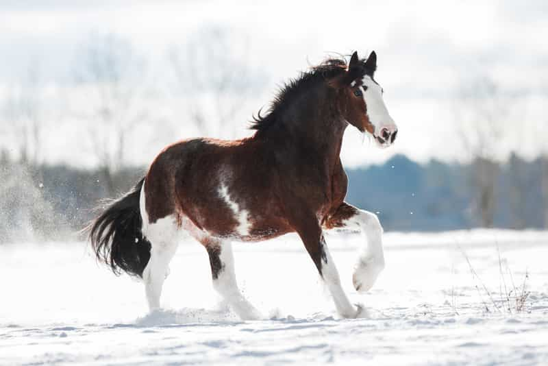 expensive horse breed