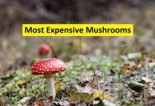 most expensive mushrooms