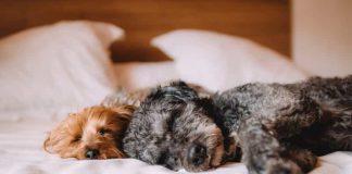 CBD Cream for Canines